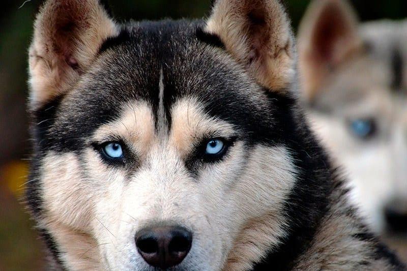 game of thrones Siberian huskies